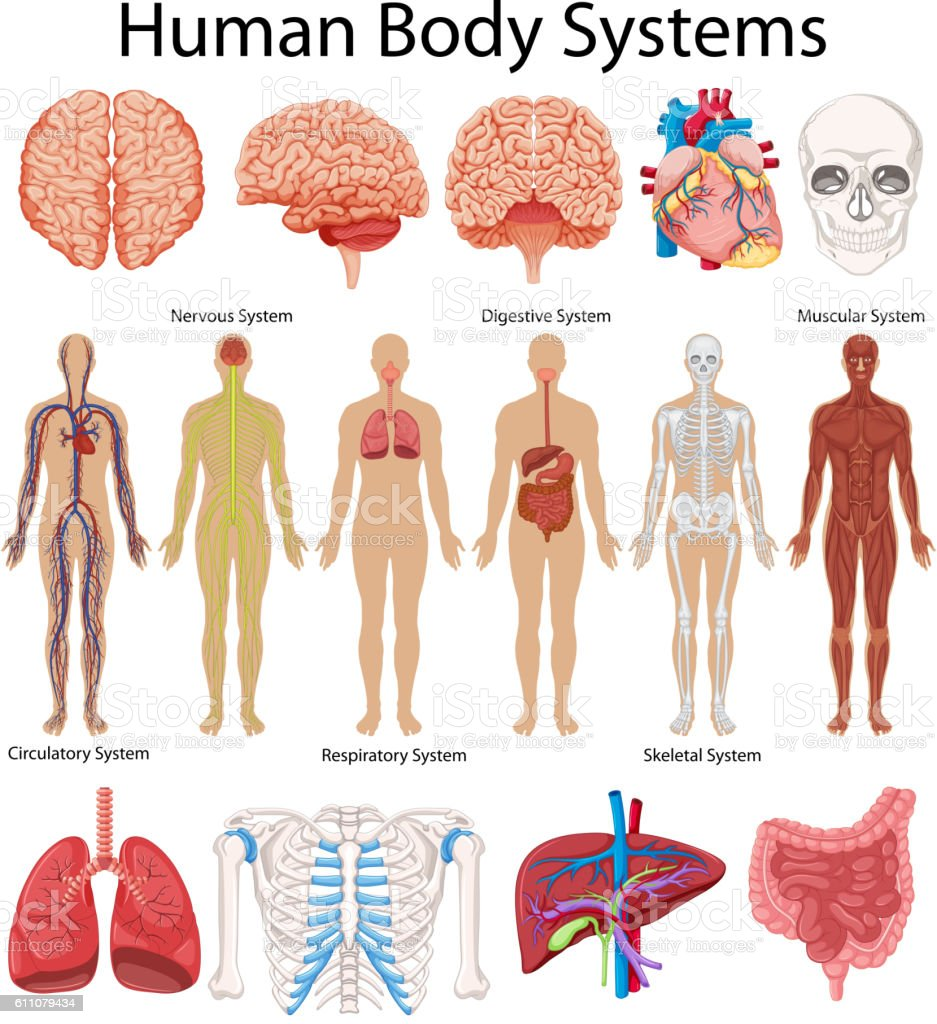 Diagram showing human body systems vector art illustration