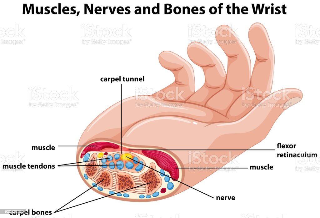 Diagram Of Hand Bones Nerves Product Wiring Diagrams