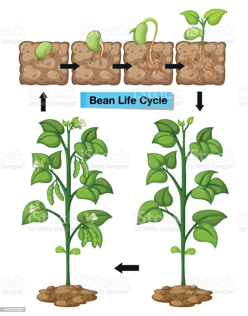 Diagram showing life cycle of bean vector art illustration