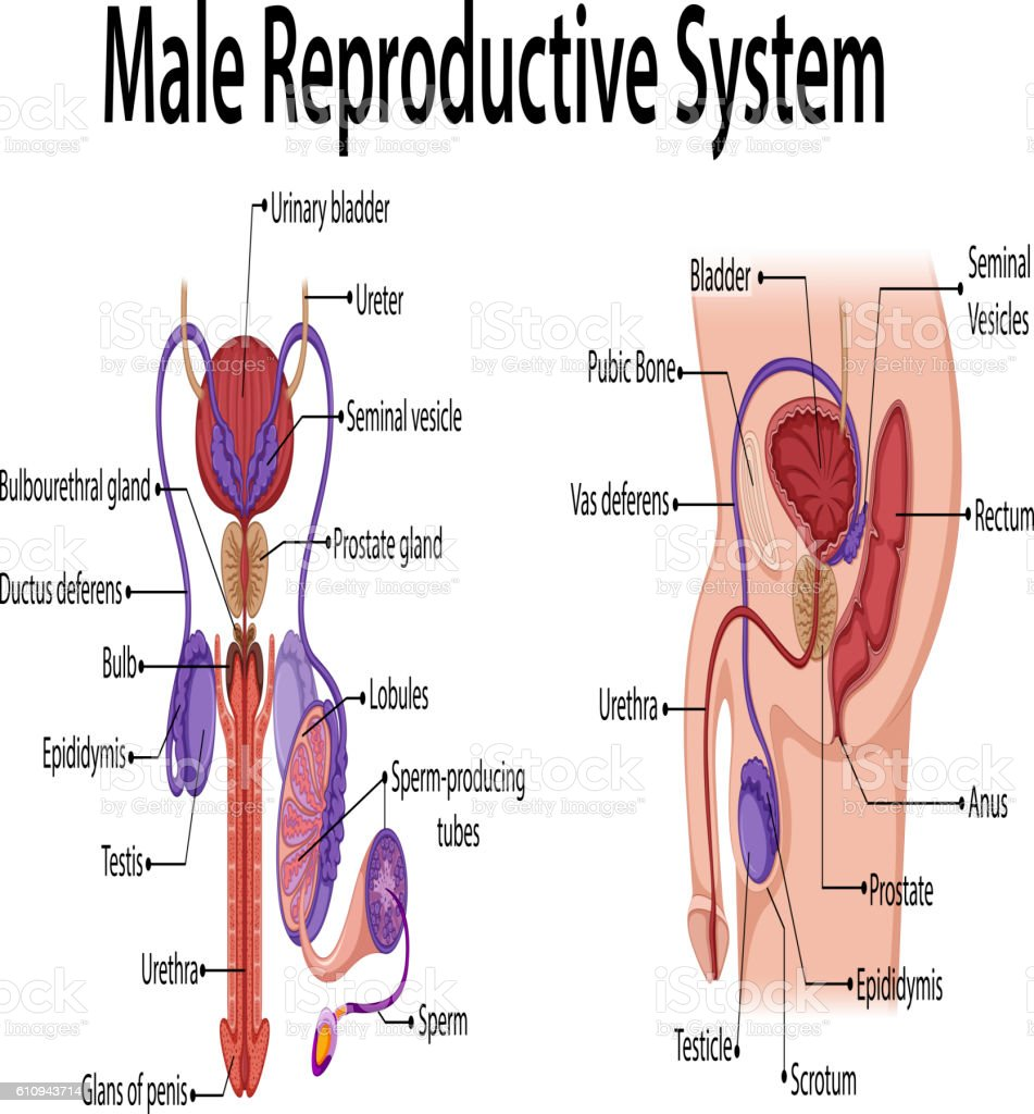 Clip art male reproductive system diagram labeled electrical work royalty free male reproductive organ clip art vector images rh istockphoto com male reproductive system glands ccuart Choice Image
