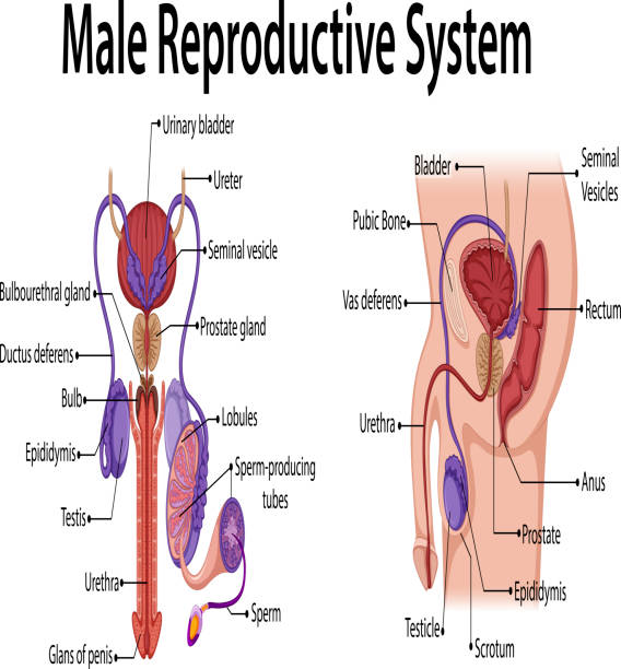 Royalty Free Male Reproductive Organ Clip Art, Vector Images ...