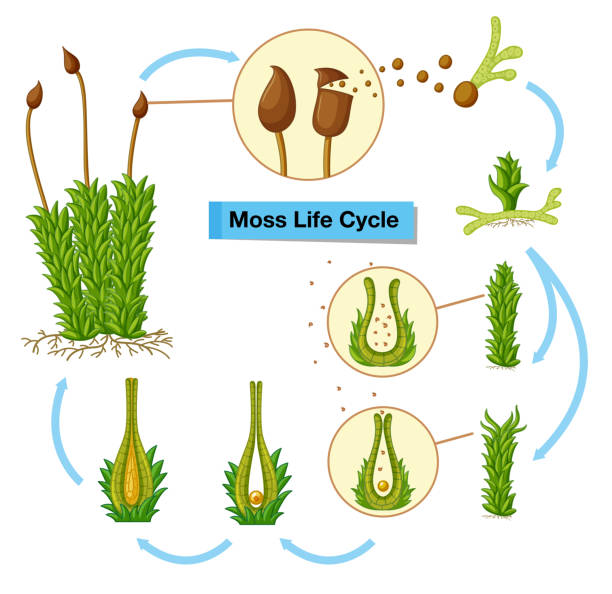 Diagram showing moss life cycle Diagram showing moss life cycle illustration moss stock illustrations