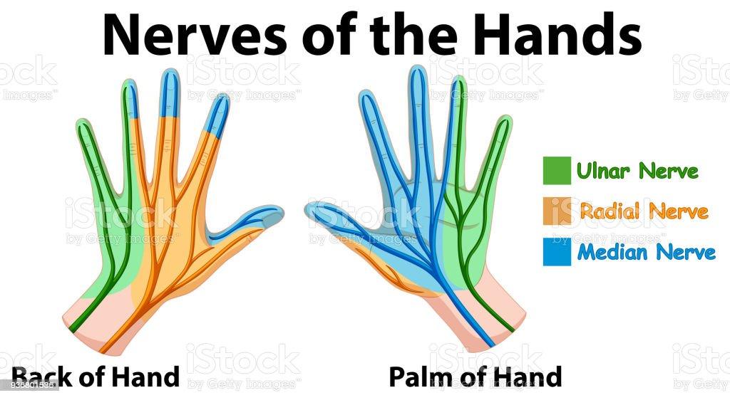 Ilustración de Diagrama Que Muestra Los Nervios De Las Manos y más ...
