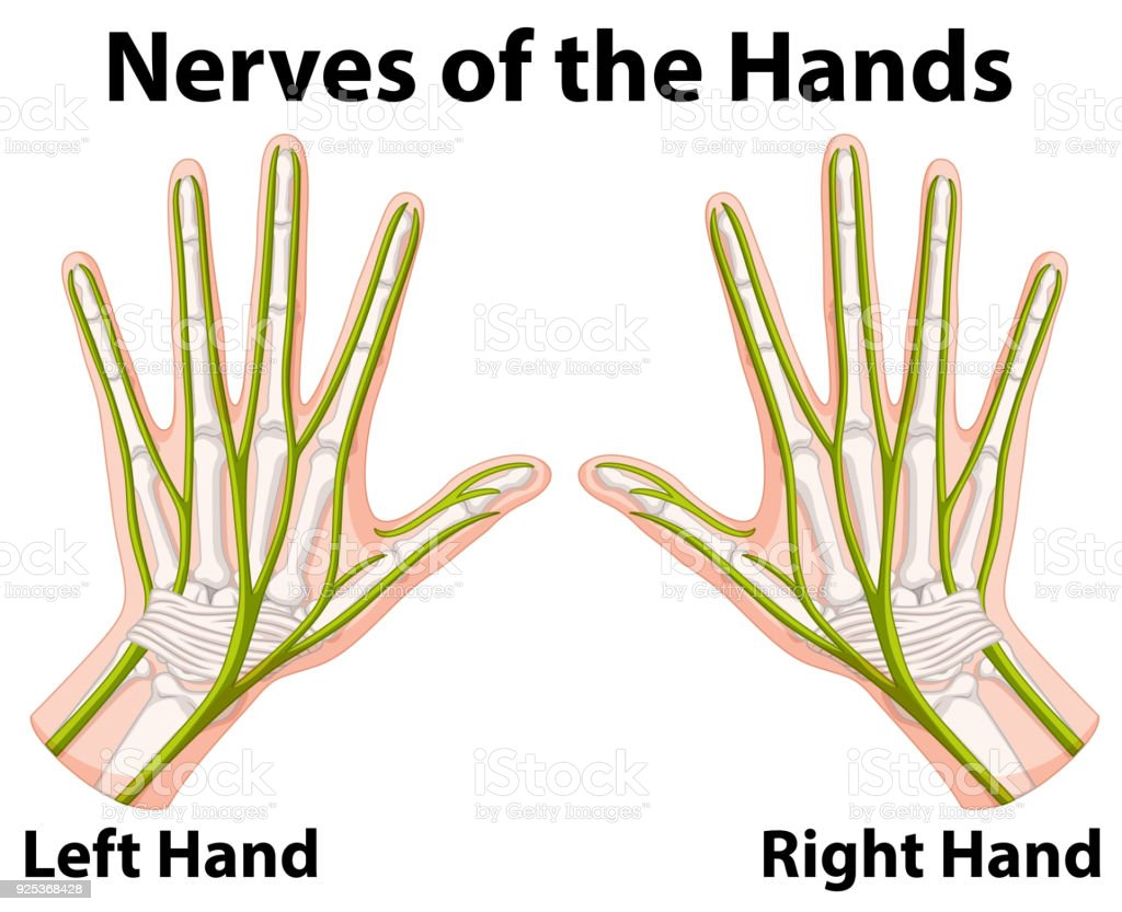 Diagram Of Nerves In Right Hand - Online Schematic Diagram •