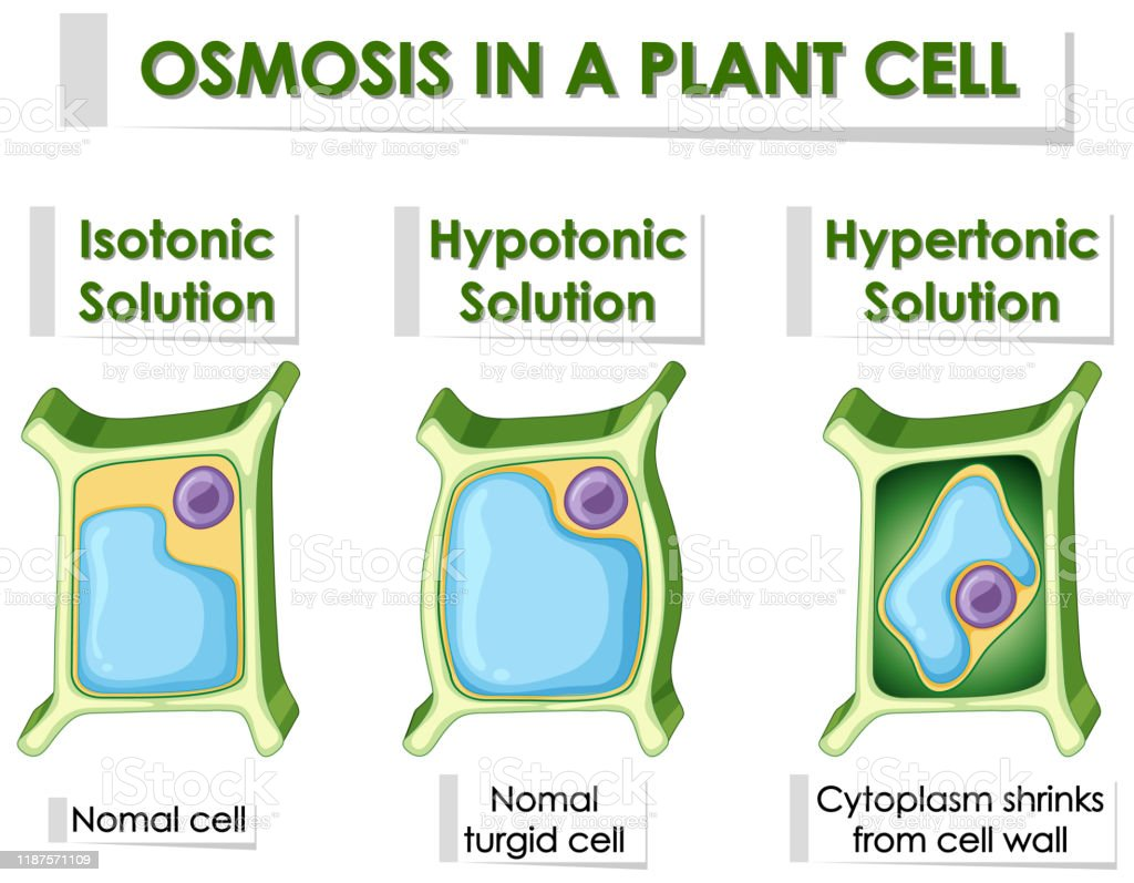 Diagram Showing Osmosis In Plant Cell Stock Illustration ...