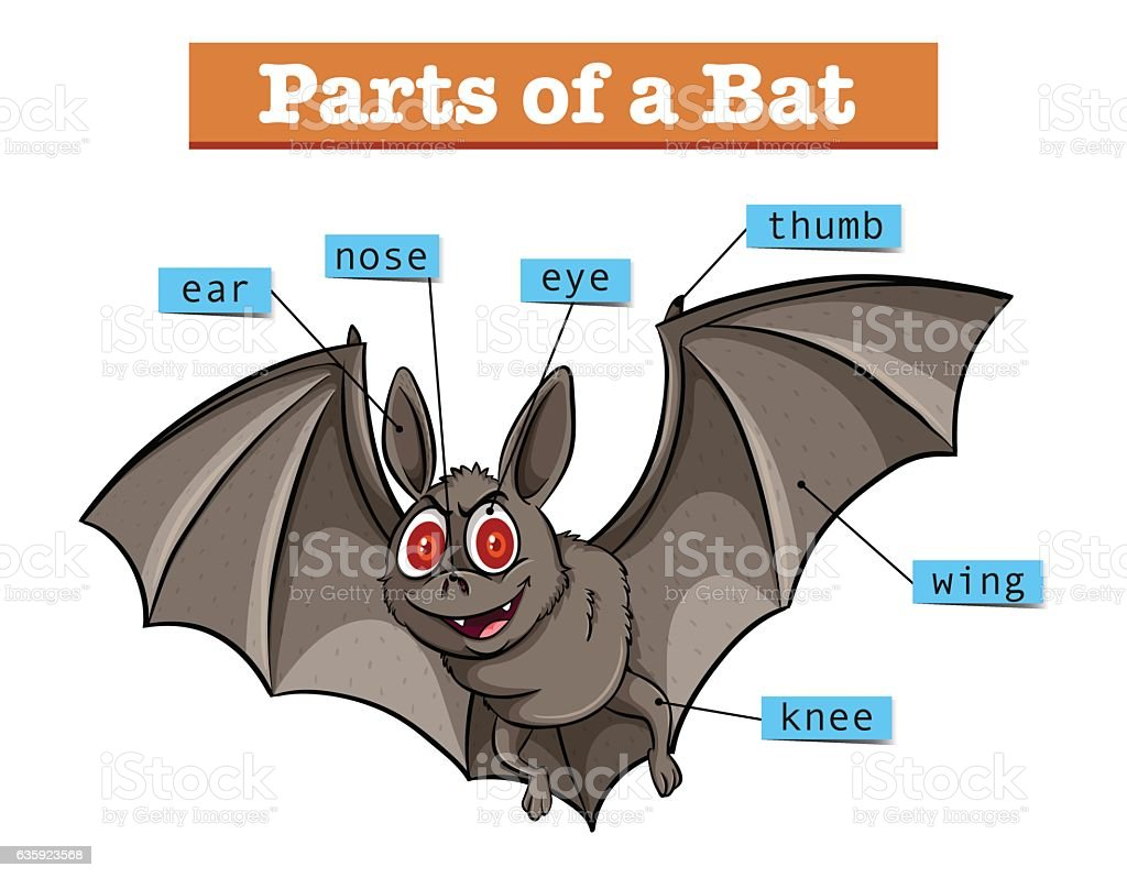 diagram showing parts of bat stock vector art \u0026 more images ofdiagram showing parts of bat royalty free diagram showing parts of bat stock vector art