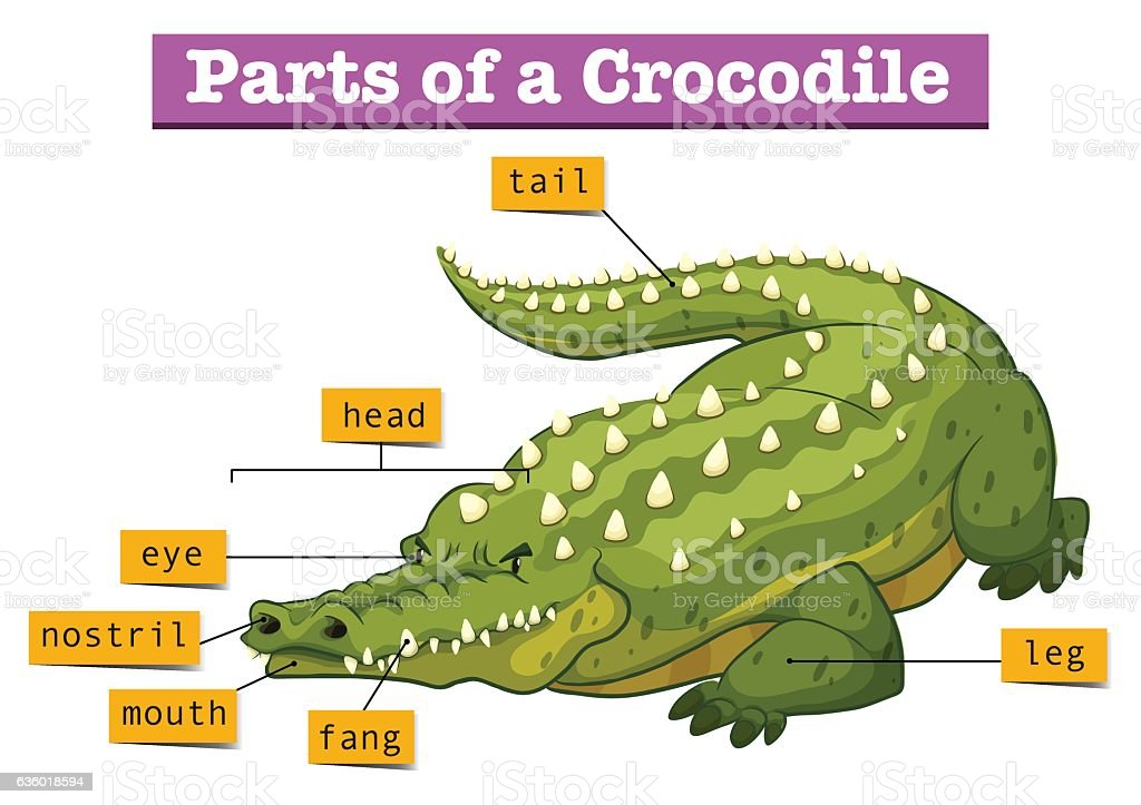 Diagram Showing Parts Of Crocodile Stock Vector Art More Images Of
