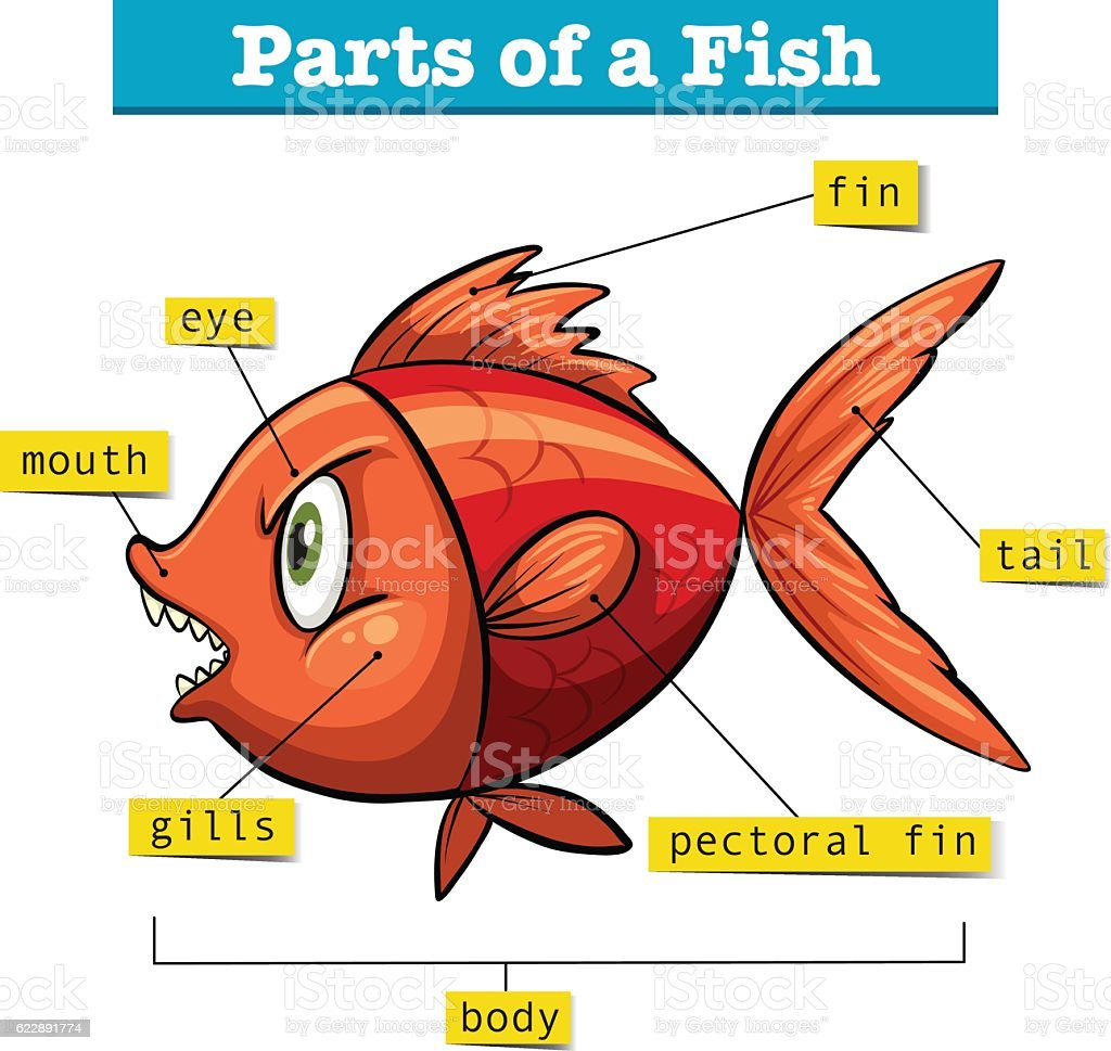 Diagram Showing Parts Of Fish Stock Vector Art & More Images of ...