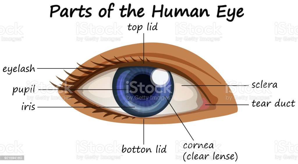 The tear duct eye diagram of human anatomy electrical work wiring diagram showing parts of human eye stock vector art more images of rh istockphoto com dog eye tear ducts glands human eye tear ducts ccuart