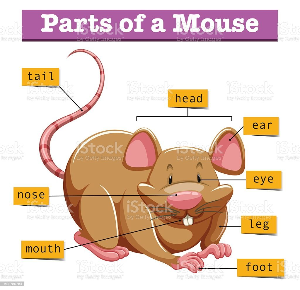 Diagram Showing Parts Of Mouse Stock Vector Art & More Images of ...