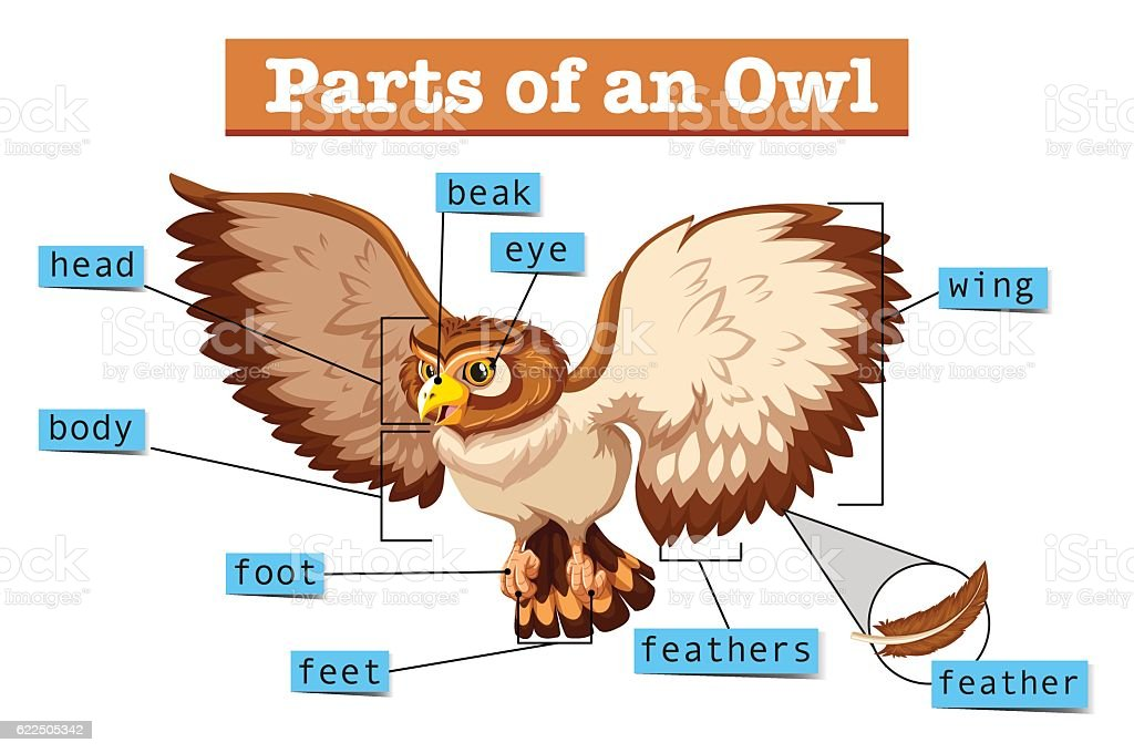 Diagram Showing Parts Of Owl Stock Illustration