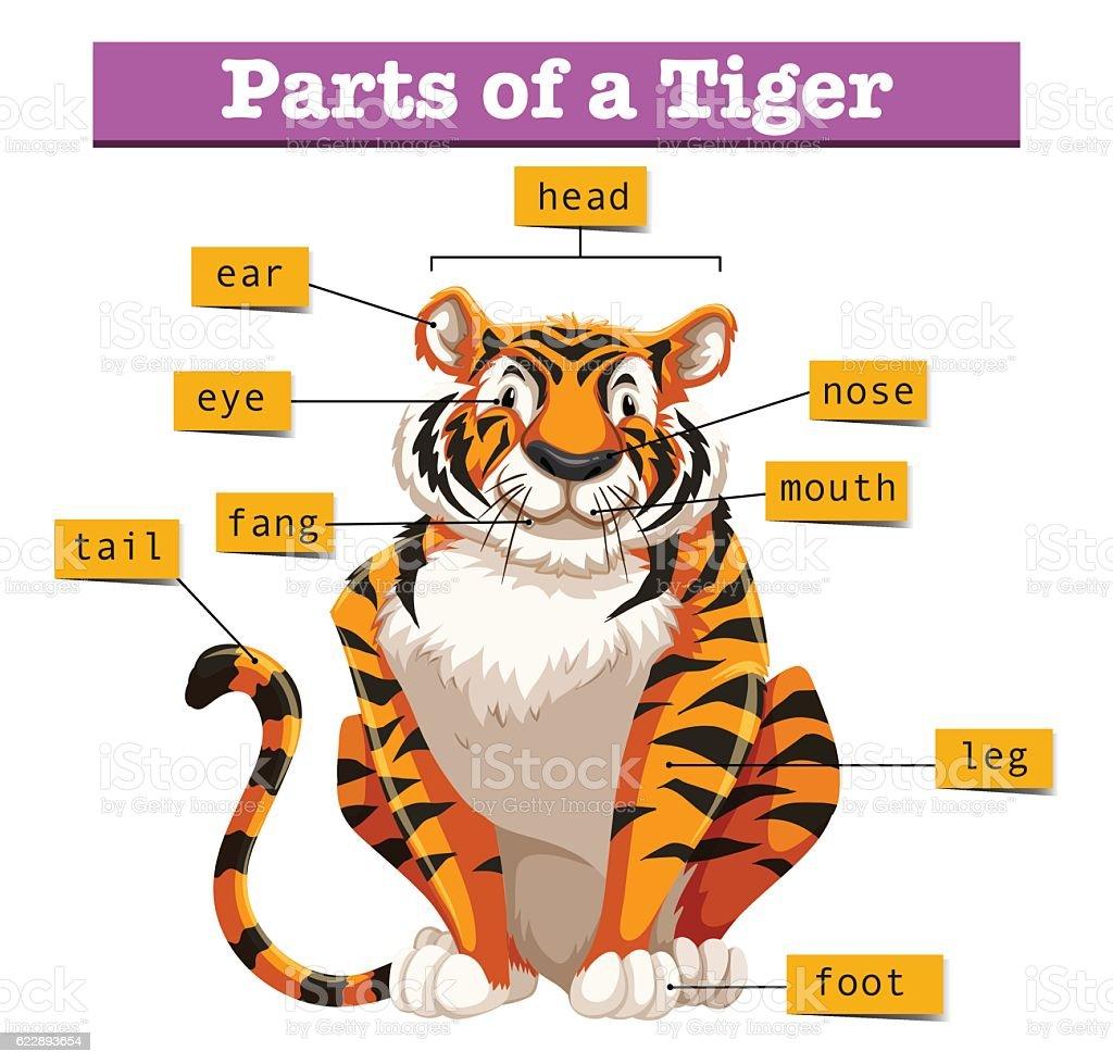 Tiger body diagram wiring diagram services diagram of tigers trusted wiring diagrams u2022 rh xerospace co tiger life cycle diagram bengal tiger teeth diagram ccuart Images