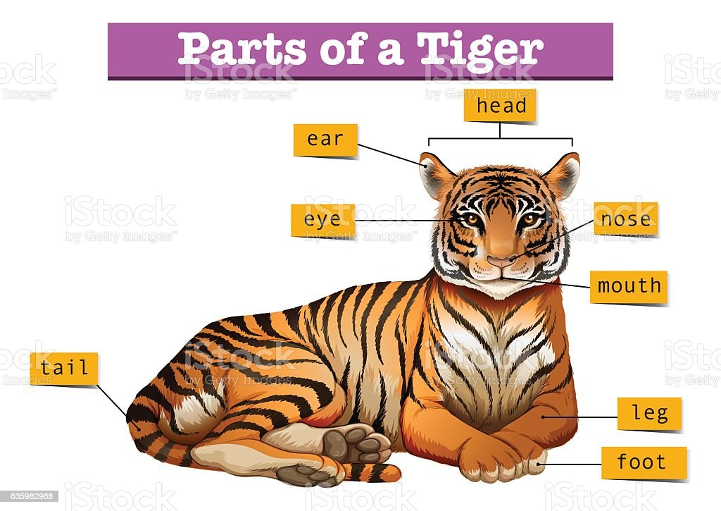 Bengal tiger teeth diagram example electrical wiring diagram bengal tiger teeth diagram images gallery ccuart Images