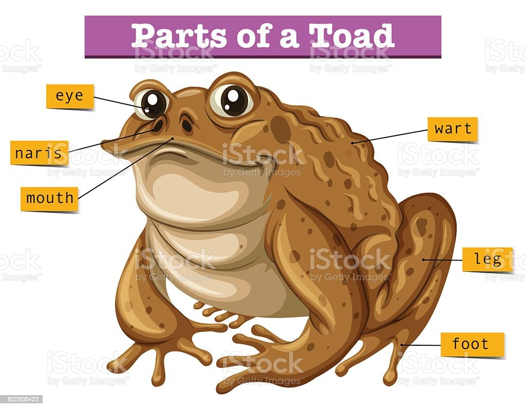 Diagram Of A Frog Clip Art - Collection Of Wiring Diagram •