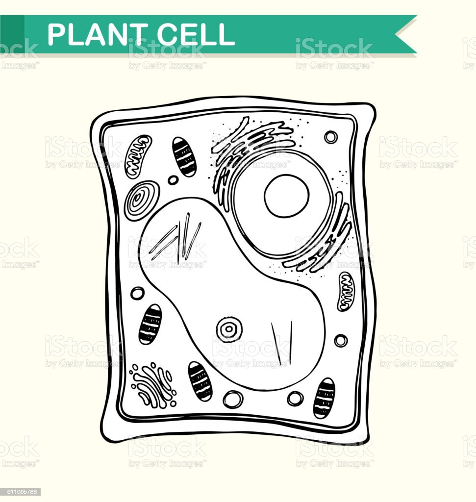 Diagram Showing Plant Cell In Black And White Stock Vector Art Royalty Free