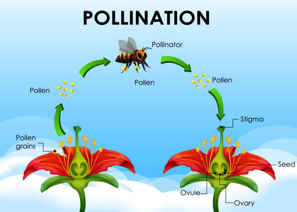 illustrazioni stock, clip art, cartoni animati e icone di tendenza di diagram showing pollination cycle - impollinazione