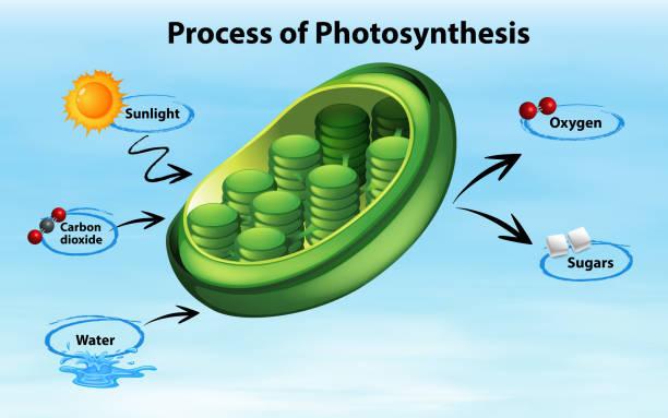 schematische darstellung der photosynthese - stoffwechsel stock-grafiken, -clipart, -cartoons und -symbole
