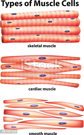 Diagram showing types of muscle cells stock vector art more images diagram showing types of muscle cells stock vector art more images of anatomy 637567028 istock ccuart Image collections