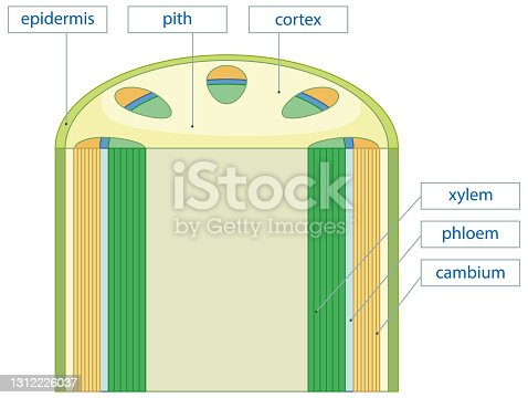 istock Diagram showing vascular tissue system in plants 1312226037