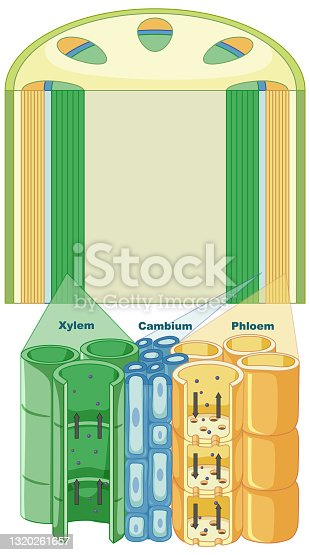 istock Diagram showing vascular tissue system in plants 1320261657