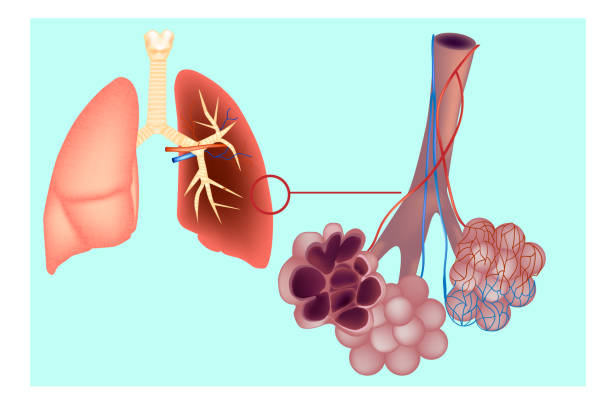 Diagram the pulmonary alveolus (air sacs) in the lung. Diagram the pulmonary alveolus (air sacs) in the lung. The respiratory system  lungs with detail of bronchioles and alveoli with capillary network. Alveoli structure Anatomy alveolus stock illustrations