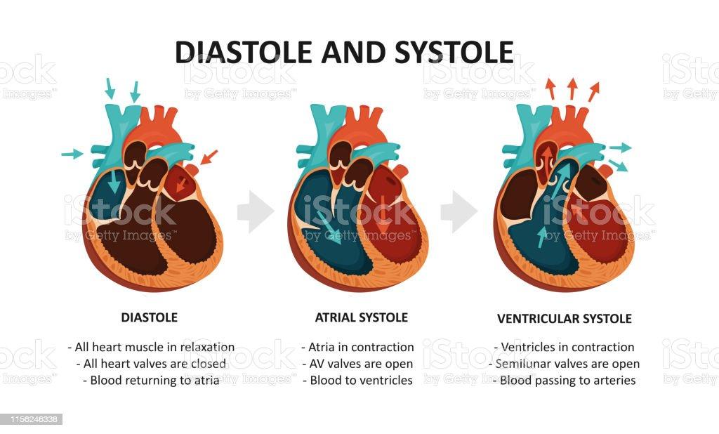 diastole systole herz