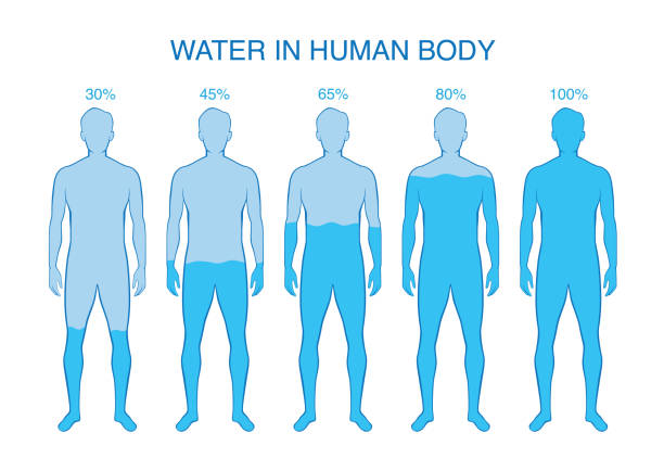 Difference percentage of water in the human body. Difference percentage of water in the human body. Illustration about composition of human anatomy. the human body stock illustrations