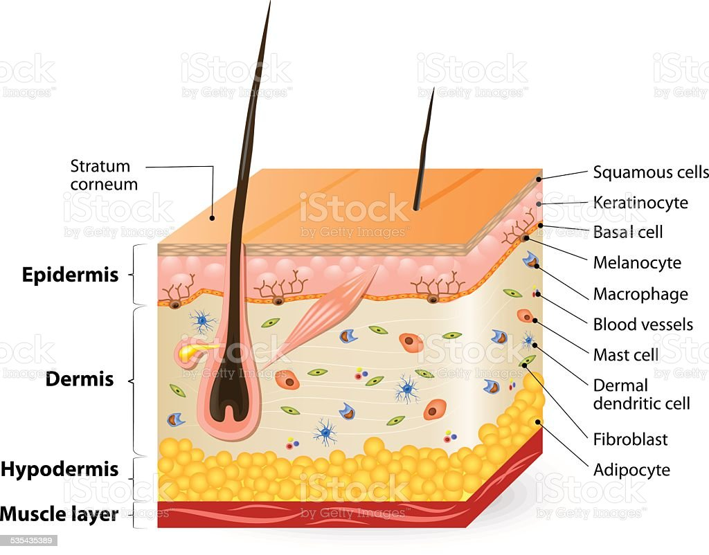 different cell types populating the skin vector art illustration