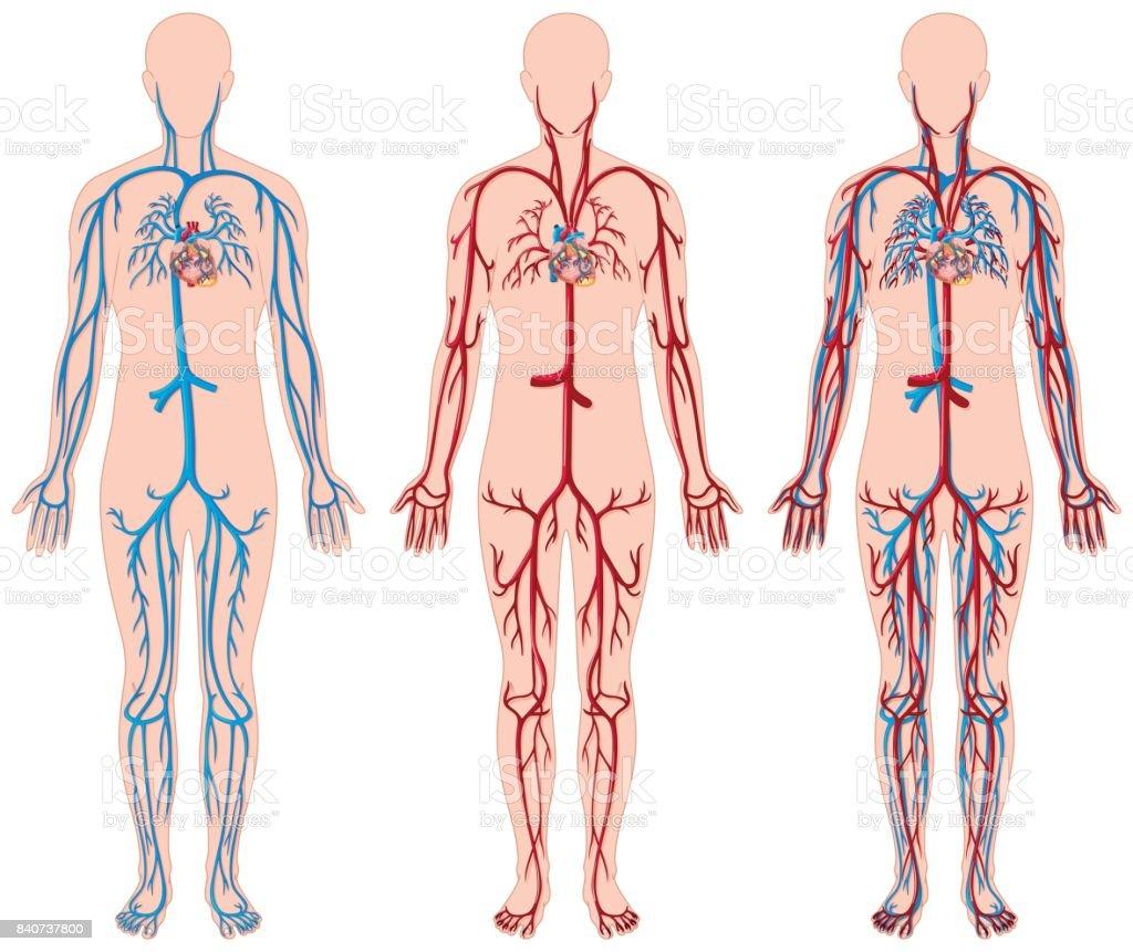 Unterschiedliche Darstellung Der Blutgefäße Im Menschlichen Stock ...