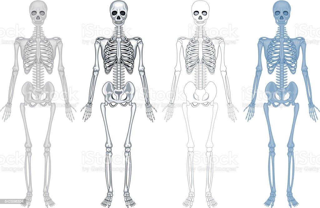 Contemporáneo Diagrama De Esqueleto Humano Componente - Anatomía de ...