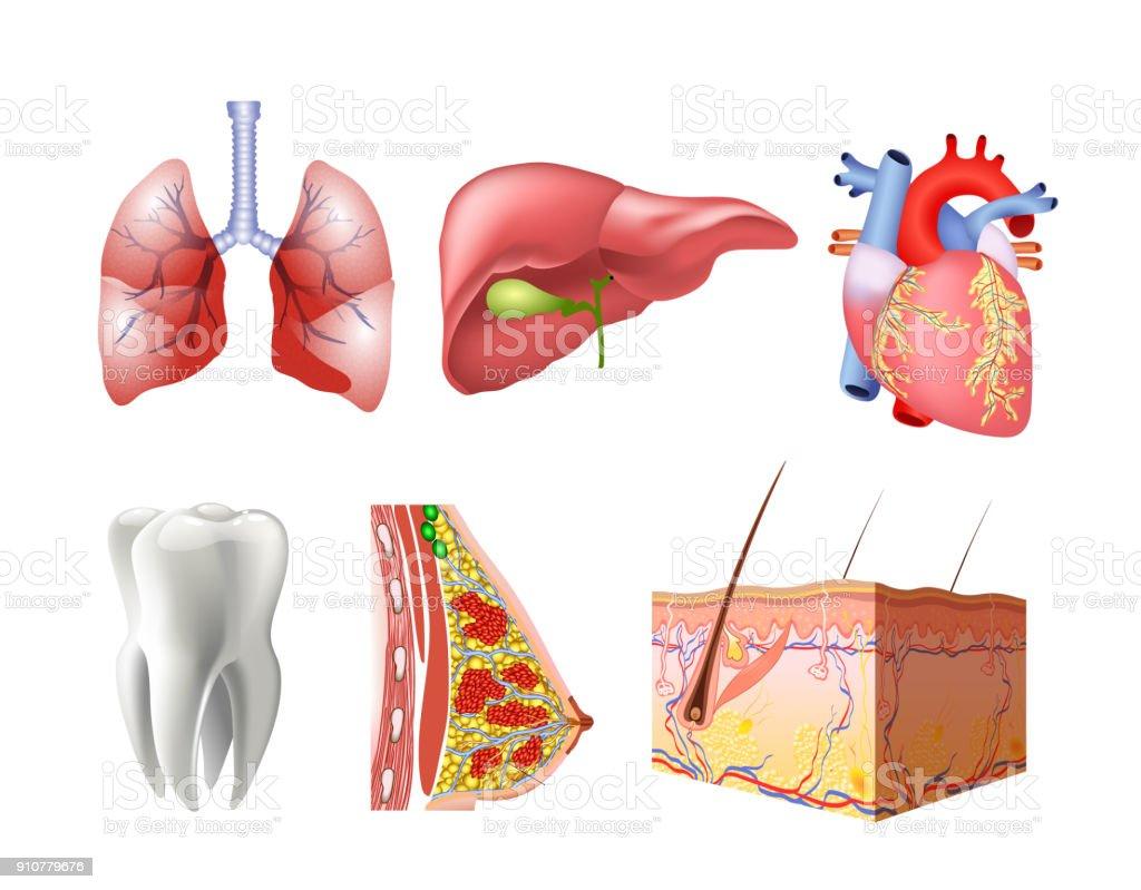 Ilustración de Diversos órganos Del Plano Humanos Con Cerebro ...