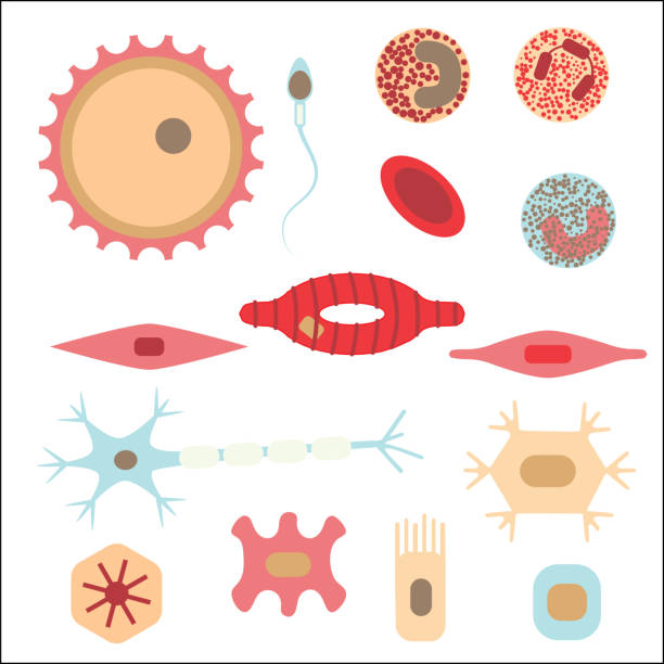 Best Human Cell Illustrations, Royalty-Free Vector Graphics & Clip
