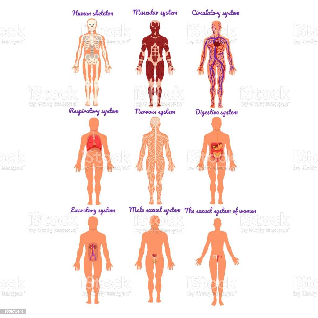 Verschiedene Menschliche Organsystem Set Muskulös Kreislauf Atemwege ...