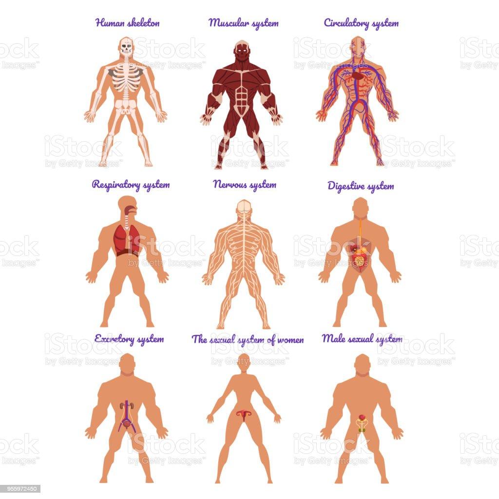 Ilustración de Diferentes órganos Humanos Del Sistema Los Sistemas ...