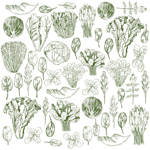 Different kinds of lettuce on white background. Hand drawn different kinds of lettuce on white background. crucifers stock illustrations