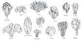 istock Different kinds of lettuce .  Vector sketch illustration 1256457276