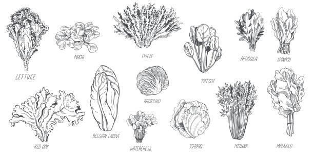 verschiedene arten von salat .  vektorskizze illustration - farbsättigung stock-grafiken, -clipart, -cartoons und -symbole