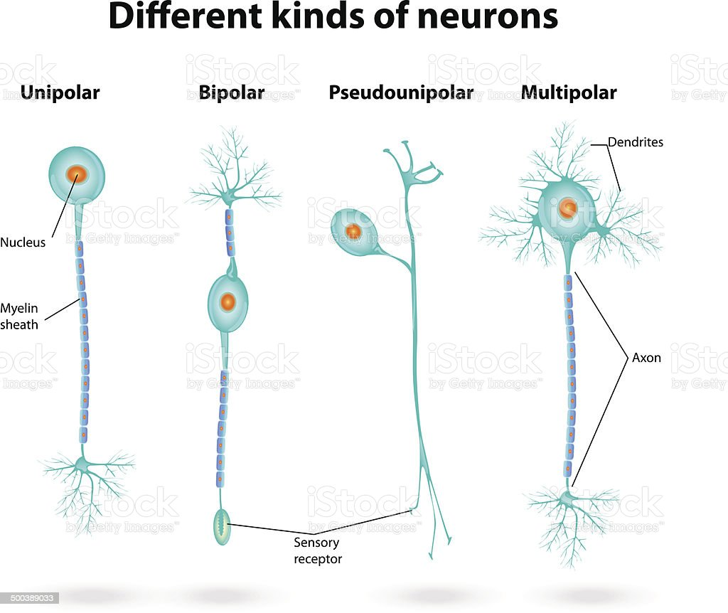 Different Kinds Of Neurons Stock Vector Art & More Images of Anatomy ...