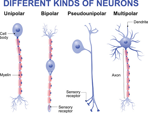 Different kinds of neurons
