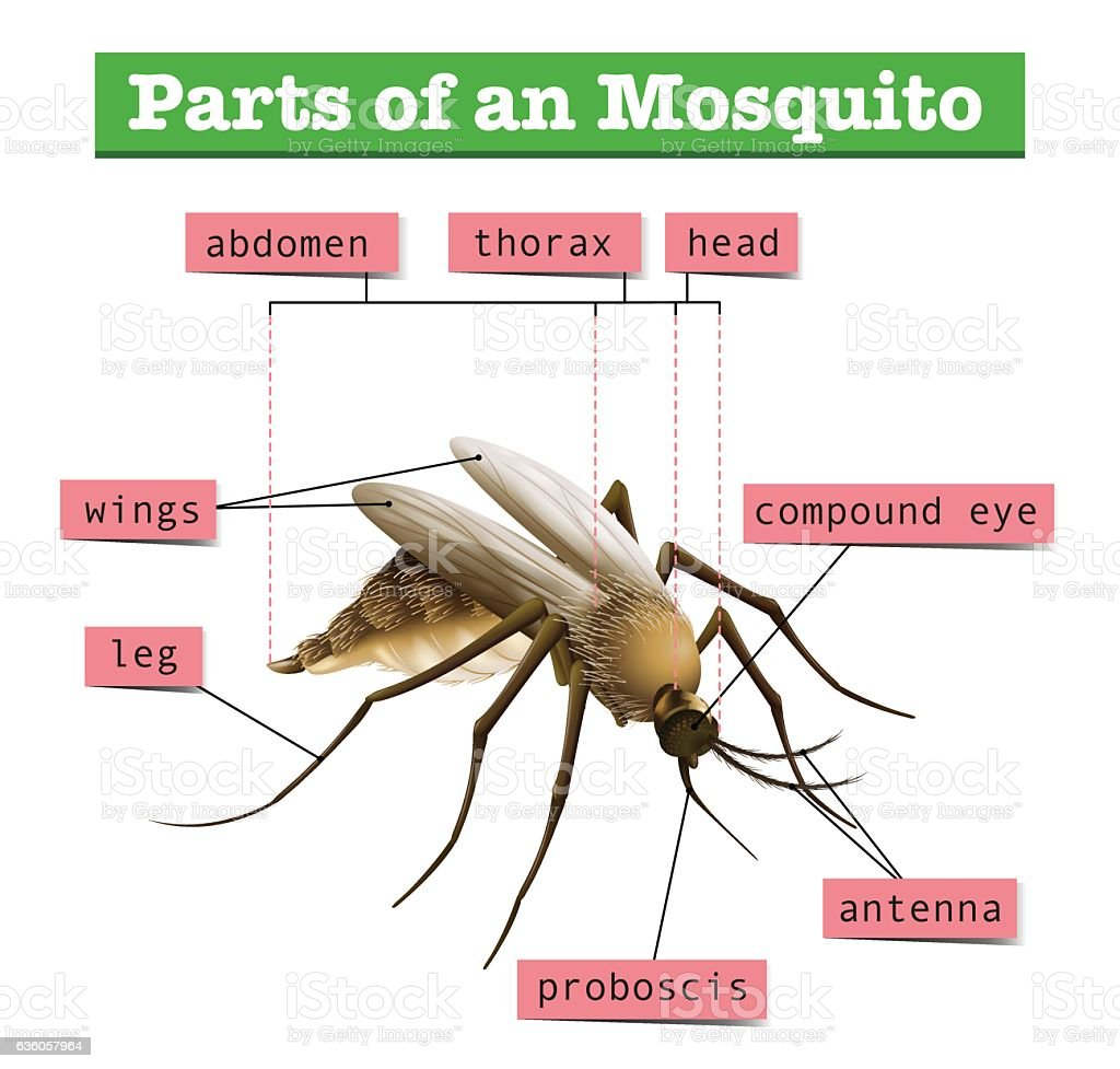 Different Parts Of Mosquito Stock Vector Art & More Images of ...