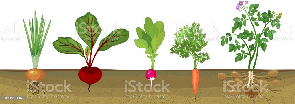 Different root vegetables growing on vegetable patch
