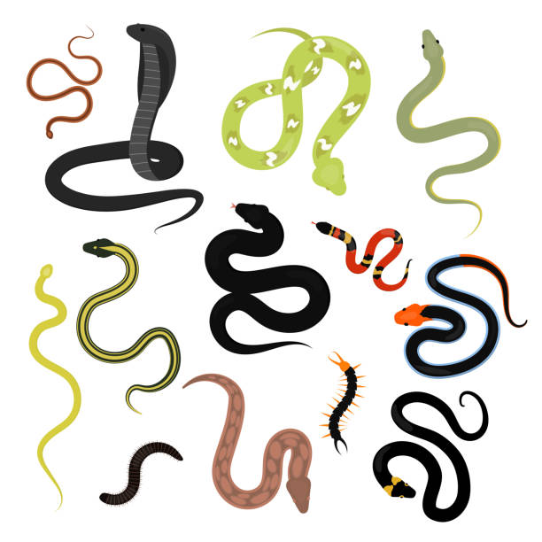 Different snake reptile animals cartoon vector set Different snake reptile animals cartoon vector set. Flat python symbol venom predator toxic animal. Cartoon danger tongue poisonous. Common reptile vector set illustration. vertebrate stock illustrations