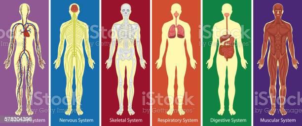 Different systems of human body diagram vector id578304396?b=1&k=6&m=578304396&s=612x612&h=apm5autklwc8brdivvnqqfj vntor8w5trwnypfazei=