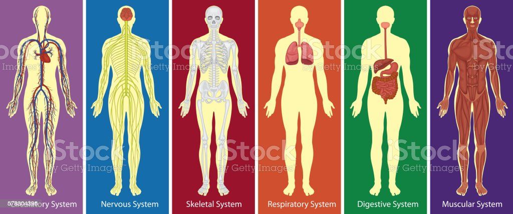 Different systems of human body diagram vector art illustration