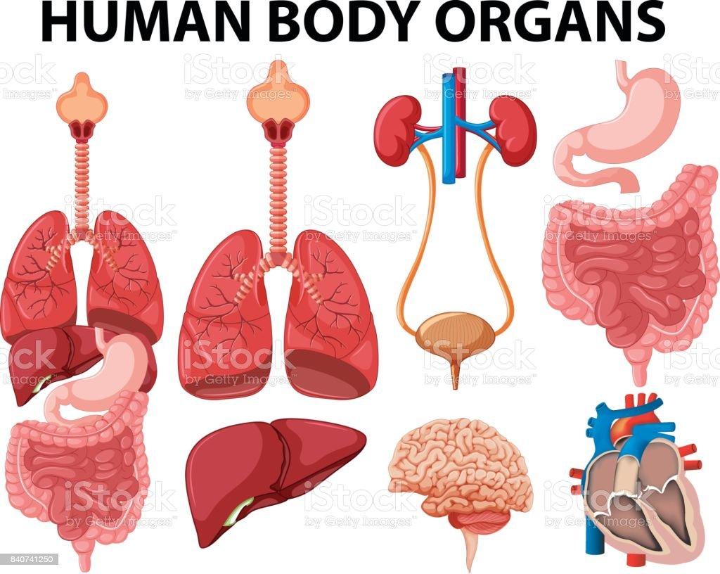 Ilustración de Diferentes Tipos De órganos Cuerpo Humano y más banco ...