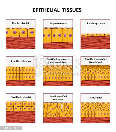 Different types of epithelial tissue collection. Vector illustration