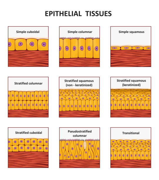 Different types of epithelial tissue collection. Different types of epithelial tissue collection. Vector illustration epithelium stock illustrations