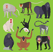 Different types of monkeys ape breed rare animal vector set. Cartoon macaque nature primate monkey chimpanzee, orangutan, toque character. Wild zoo ape wildlife jungle animal