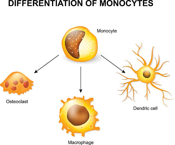 Differentiation of monocytes Differentiation of monocytes. Osteoclast, Macrophage and Dendric cell biological cell stock illustrations