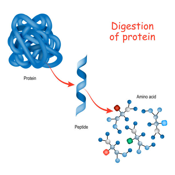 Digestion of protein. Enzyme Digestion of protein. Enzymes (proteases and peptidases) are digestion breaks the protein into smaller peptide chains and into single amino acids, which are absorbed into the blood. amino acid stock illustrations